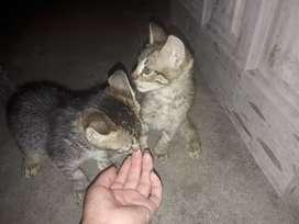 Regalo lindos gatitos