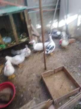 Vendo patos y cuy  20 soles