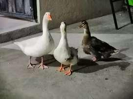 Cría de patos, patos adultos, ganzo y gallo