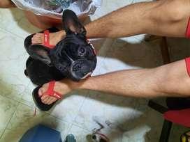Bulldog frances para monta