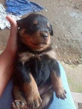 Venta cachorros  Rottweiler