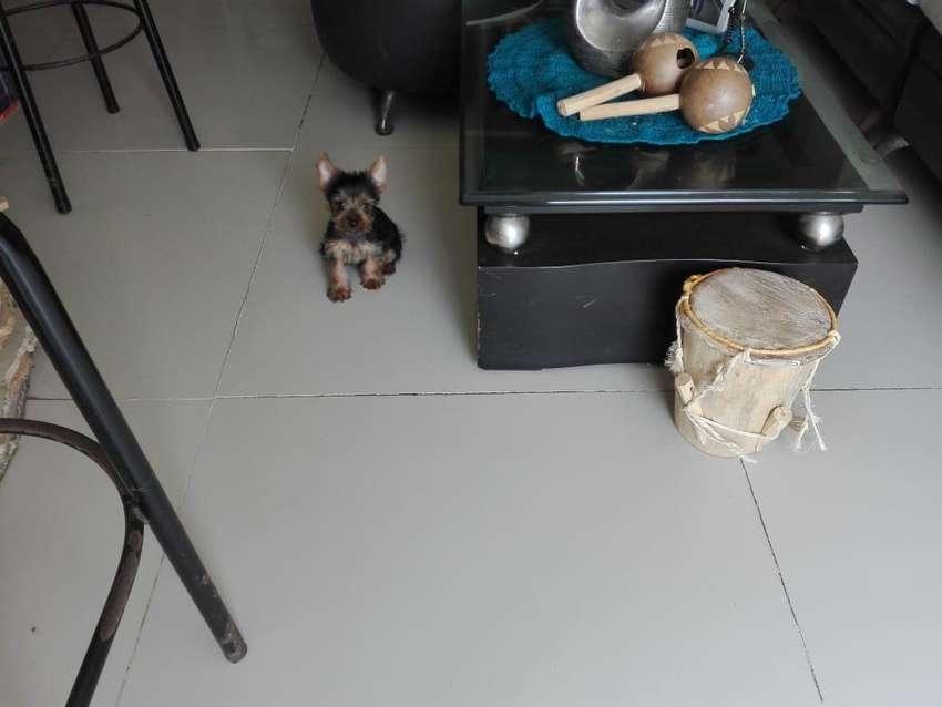 Hermosos cachorros yorki mini raza pura 0