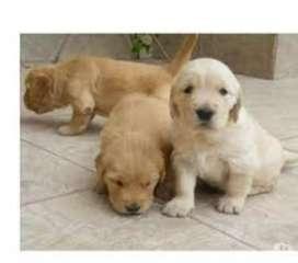 Se vende perro golden