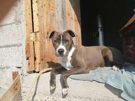Vendo perro pitbull de 8 meses