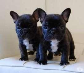 Hermosos bulldog mini de 45 días de edad.
