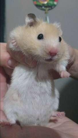 Hamsters Córdoba. Criadero de Hamsters Sirios en Córdoba Capital