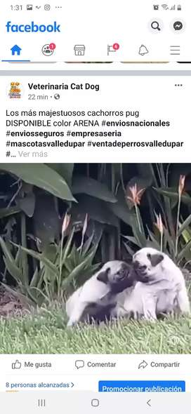 majestuosos cachorros de alta GENÉTICA pug