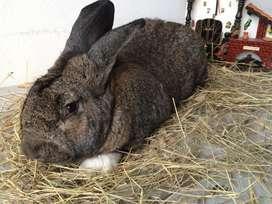 Conejos híbridos de gigante en Bogota