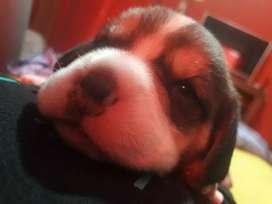 Cachorros Beagle!