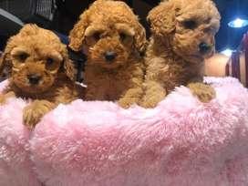 cachorros french poodle mini crespos y gordos color canela y blanco