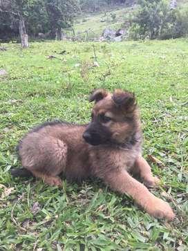 pastor aleman cachorro (hembra)