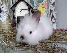 Conejos cabeza de León Bogota