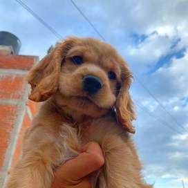 cachorros  cocker de 47 días disponibles y vacunados para entrega inmediata no importa el lugar donde te encuentres