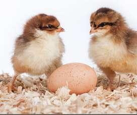 Vendo pollas ponedoras y pollos parrilleros