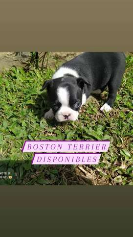 Boston terrier extrovertidos