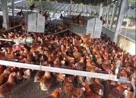 Se venden gallinas