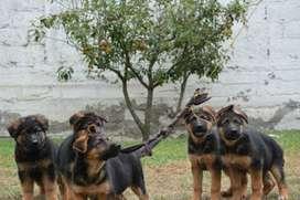 Se vende Cachorros Pastor Alemán