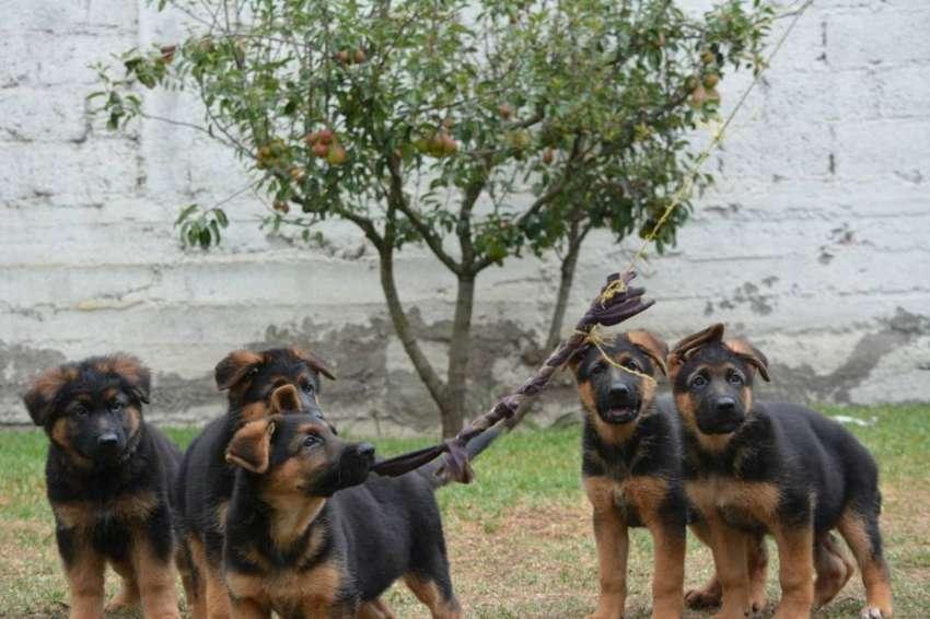 Se vende Cachorros Pastor Alemán 0