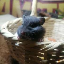 Hamsters en todas sus especies