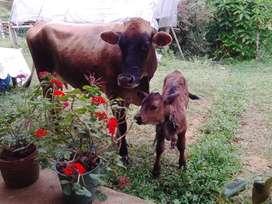 Vendo Vaca Jersey con Ternero de 2 Meses
