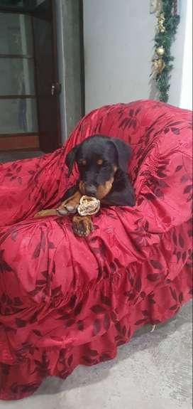 Venta de Cachorro Rottweiler