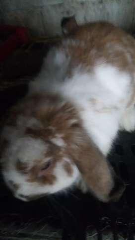 venta de conejos belier fusilop