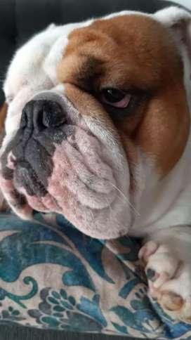 Servicio bulldog ingles .