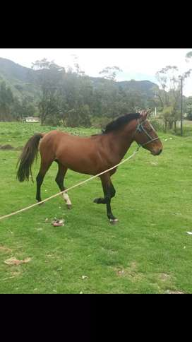 Se vende hermoso caballo