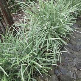 Liriope planta.