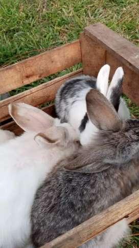 conejos x mayor.
