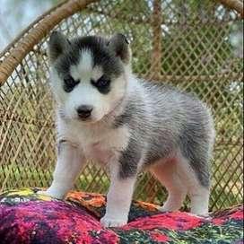 husky lobo siberiano fiel 55 dias