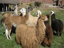 venta de camelidos  llamas