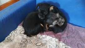 Hermosos cachorros,Yorkshire  mlini, vacunados y desparasitados