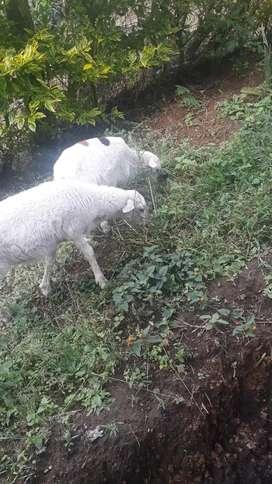 Vendo pareja de carneros