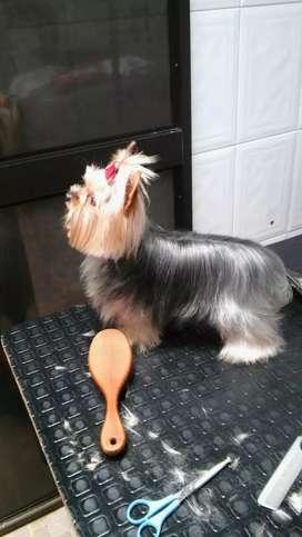 Yorkshire terrier mini-mini disponible para monta en el HUILA