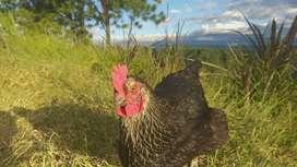 Se venden gallinas ponedoras