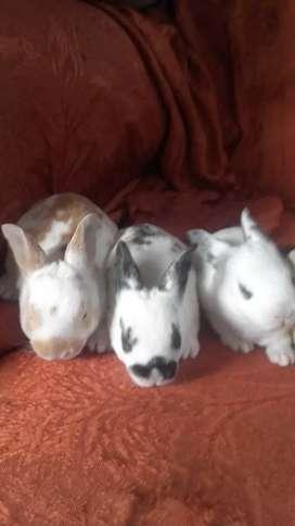 Conejos rex a 20 soles la unidad