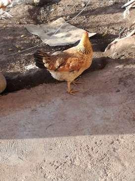 Se vende gallos y gallinas de campo