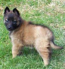Cachorros de la raza pura pastor belga malinois muy atentos y vigilantes