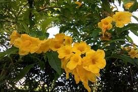 Tecoma stans (Plantín)