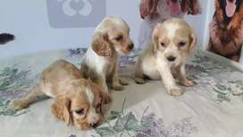 Vendo perritos raza cocker spaniel