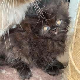 Gato persa (macho)