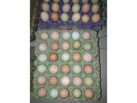 Venta Huevos Fertiles-Raza Criolla Gigante