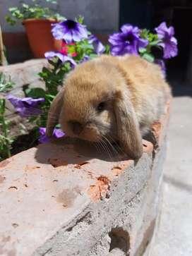 Conejos de orejas caídas