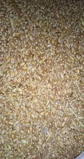 Trigo importado para harinas y balanceado