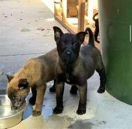 perritos hermosos de gran raza pastor belga mallinois ejemplares carbonados