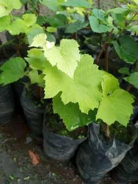 Venta de plantulas de vivero uva isabella.