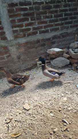 Patos Canadienses