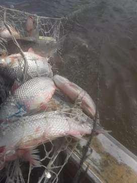 PAlinmento Pescado fresco