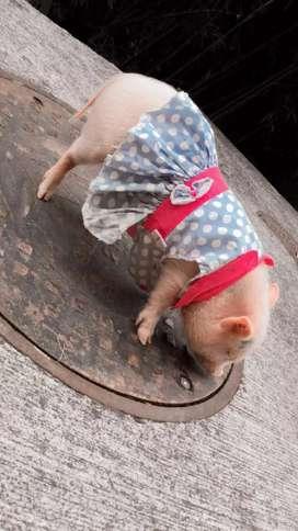Hermosa mini pig de tres meses adiestrada